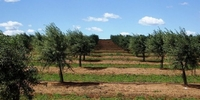oliveiras-olive-trees-1234561_960_720-660x330